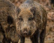 Zamke za divlje svinje dostupne online
