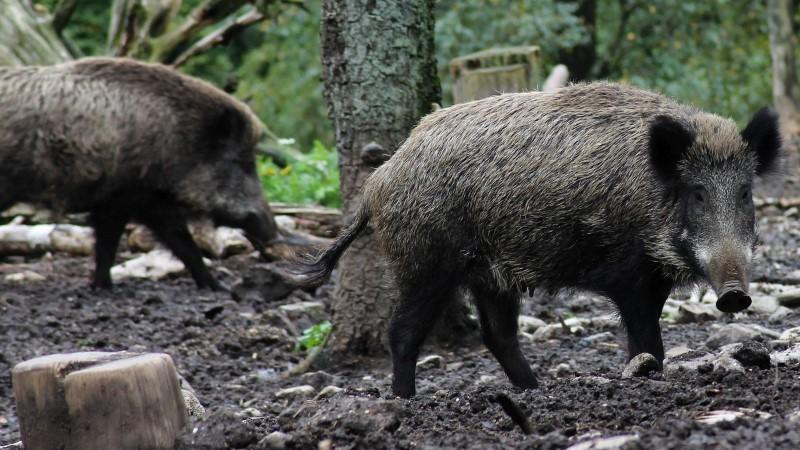 Zamke za divlje svinje